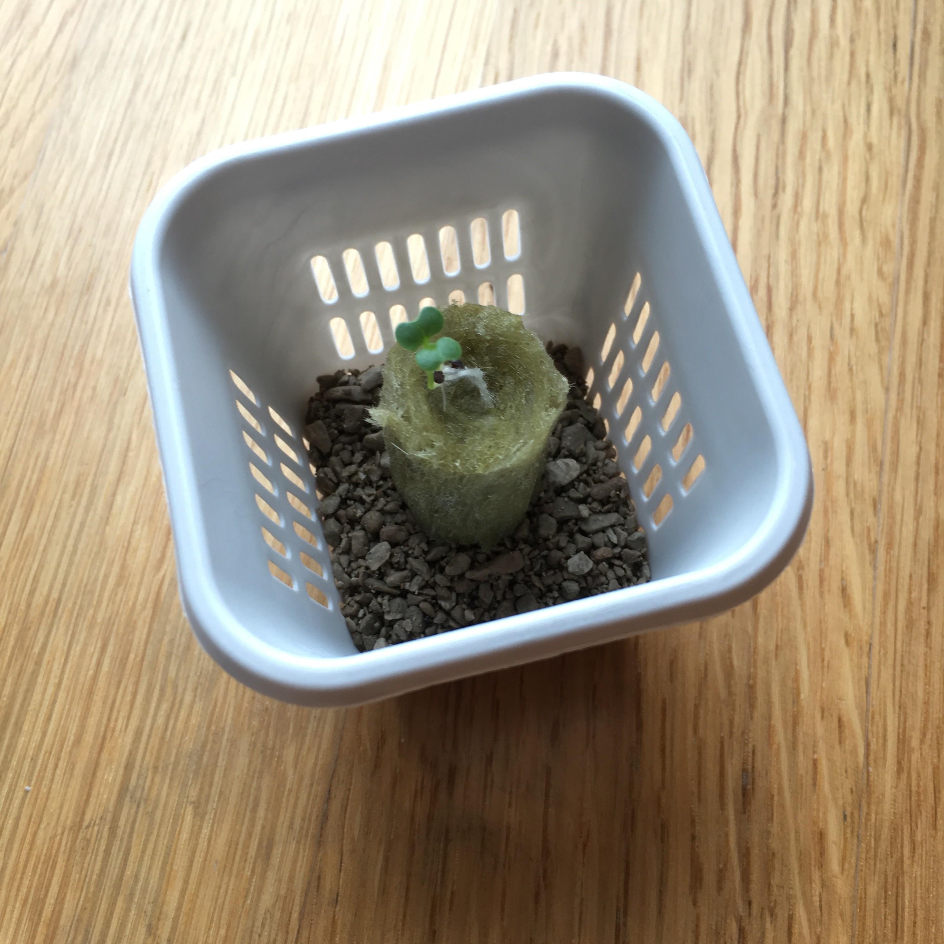 roter Asia Salat roter Senf Samen Ikea Växer Amarant